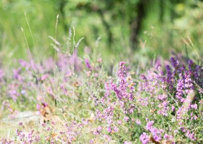 Fleurs en Cévennes